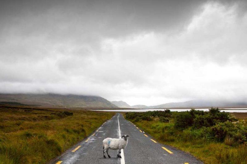Connemara Schaap op de weg in Ierland met Galtic