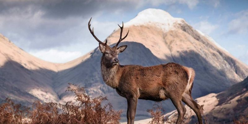 Hert in Schotland tussen de bergen Reizen met Galtic