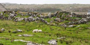 Schapen Wild Atlantic Way Ierland Reizen met Galtic