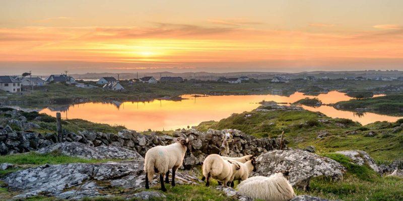 Schapen in Ierland Reizen met Galtic