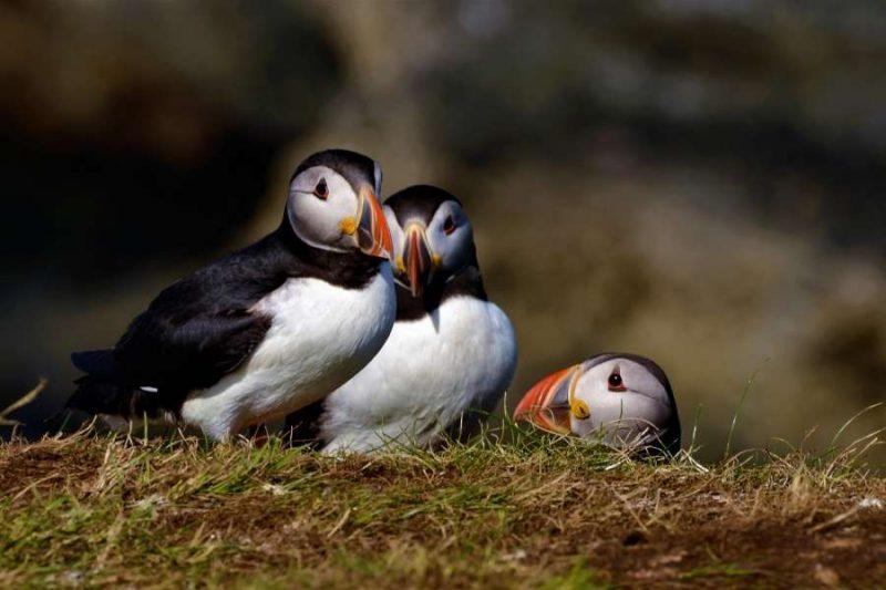 Papegaaiduikers op Trennish Island in Schotland reizen met Galtic