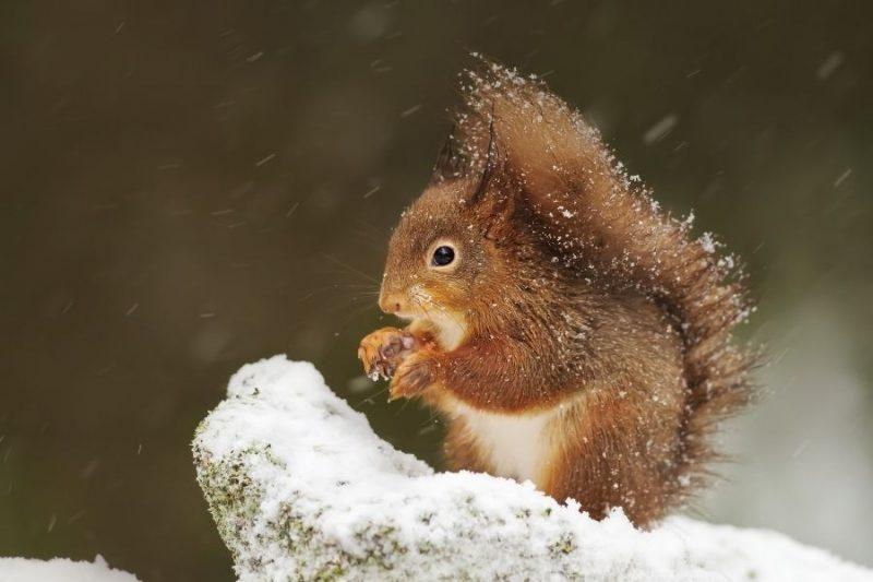 Ook eekhoorns kan je spotten in Schotland.
