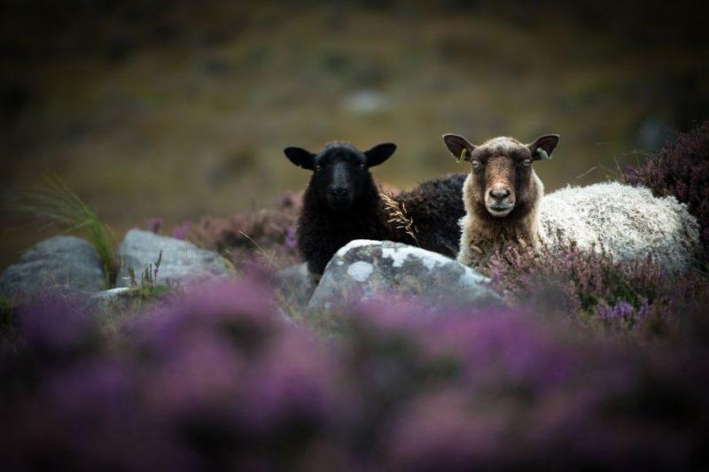 In Schotland vind je ook talloze schapen