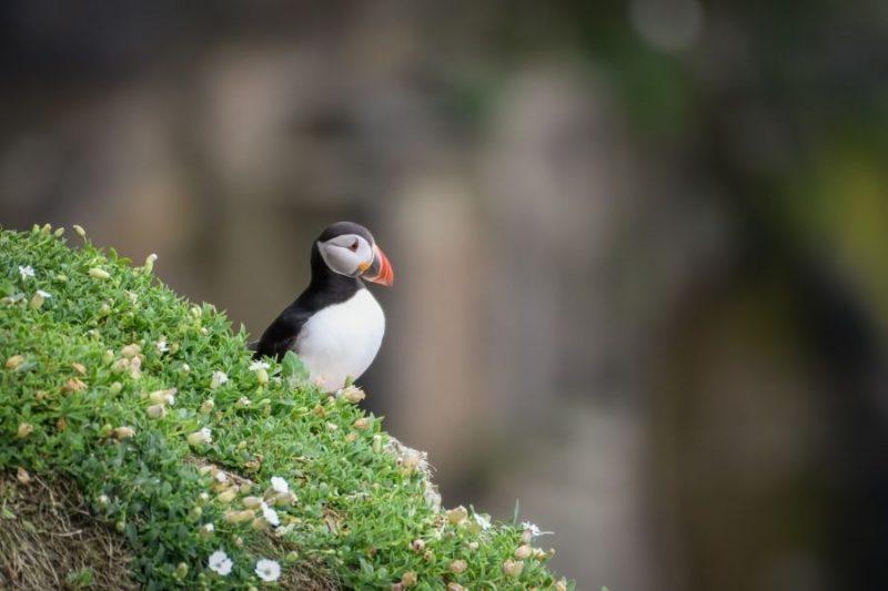 de grootste kolonie puffins broedt op St Kilda